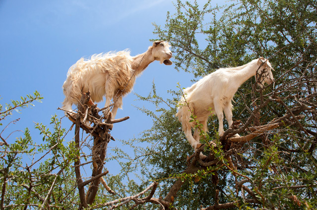 Tree-climbing goats help sow new forests by SPITTING out the seeds, scientific study shows