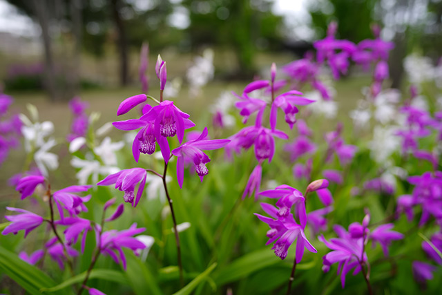 The Chinese ground orchid discovered to be a powerful antibiotic