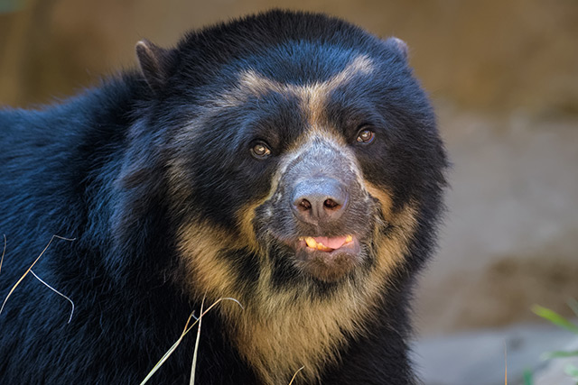 Water cooler talk – Andean bears use water sources not only to drink, but also communicate with others