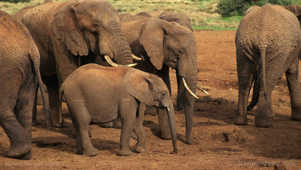 Are wildlife tourists helping or harming elephants? Experts say they pressure elements to become more violent