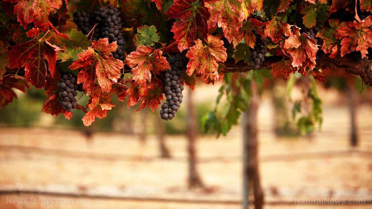 A look at how ancient Greeks tended their vineyards
