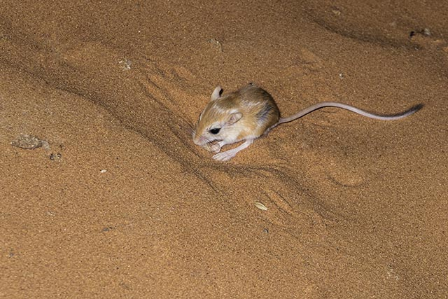 """Kung fu fighting in the animal world: Meet the kangaroo rat, which seemingly uses """"kung fu"""" to outsmart rattlesnakes"""