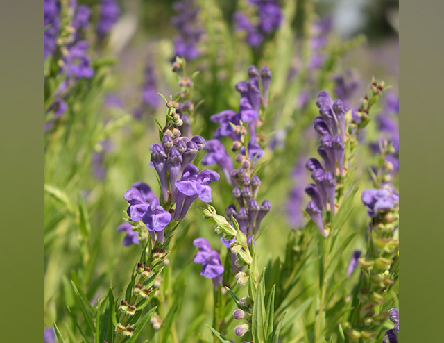 Chinese skullcap protects against brain disorders by preventing neuronal death