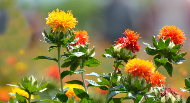 Scientists identify the bioactive compounds in safflower