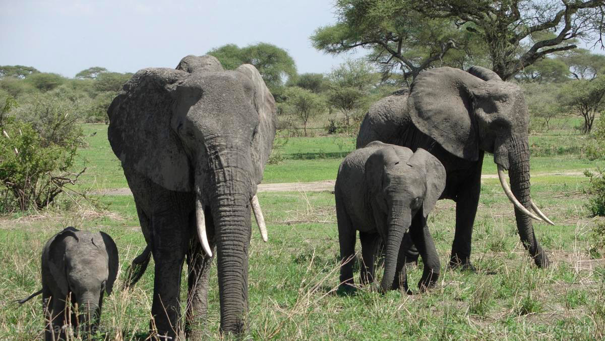 Poaching rates DOWN for elephants compared to a decade ago, but they're not out of the woods yet