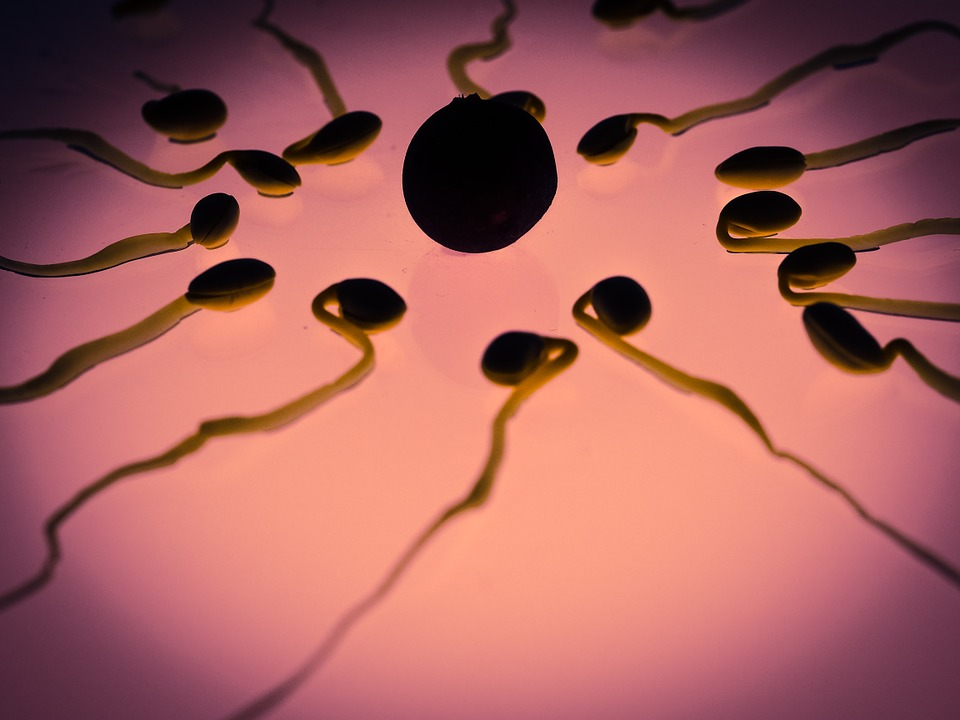 Competitive sperm: Study reveals it performs better in the presence of sexual rivals