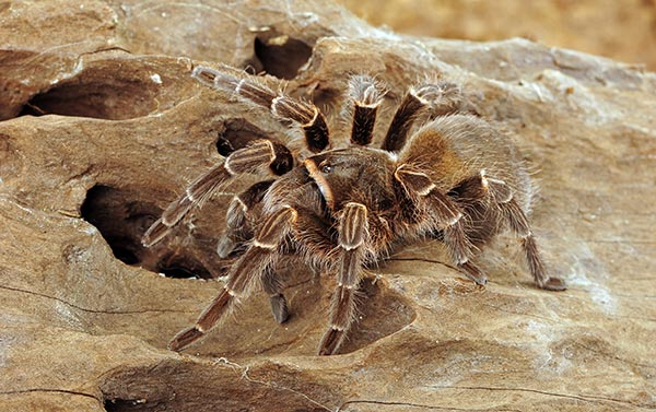 Why does this 8-inch tarantula and her tiny frog sidekick live together?